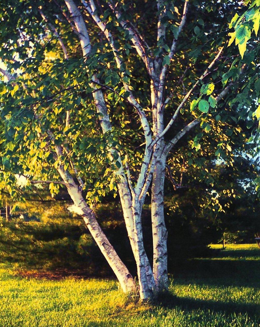 birch-tree-my-backyard