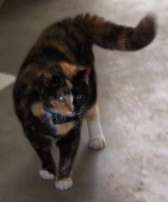 my calico cat Callie