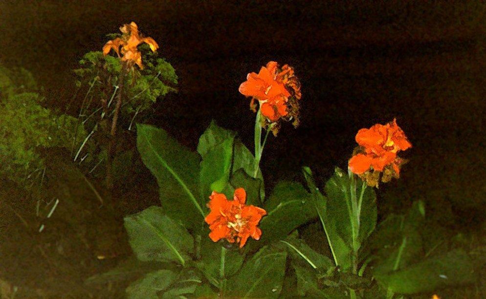 cannas at night