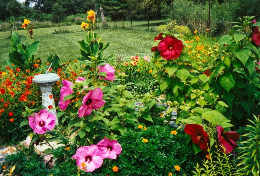cosmos, hibiscus, and cannas