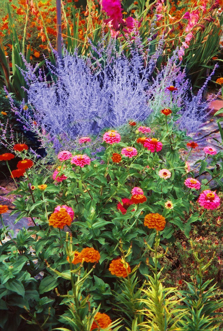 russian sage and zinnias