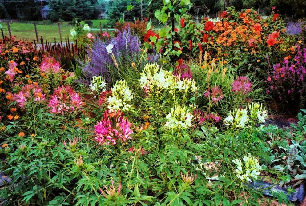 featuring spiderflowers