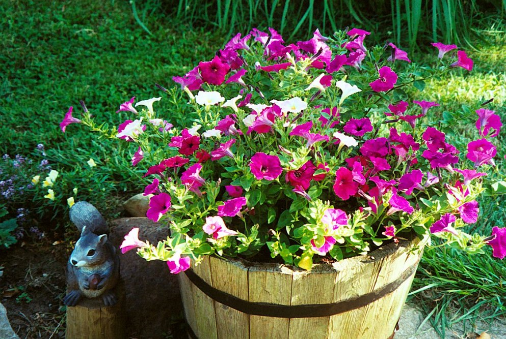 petunias in wooden tub