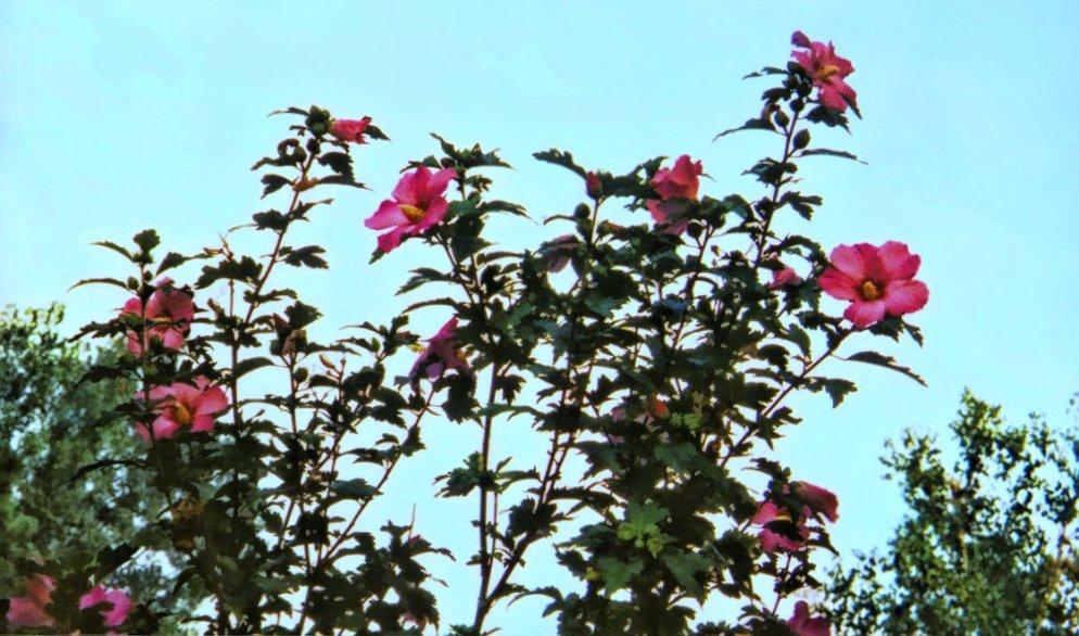 pink rose of sharon shrub