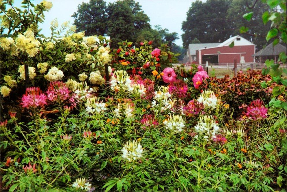 featuring spiderflowers, hydrangea, hibiscus, and coneflowers