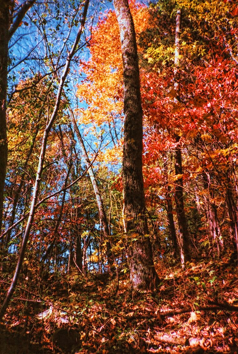 fiery_maples_of_october