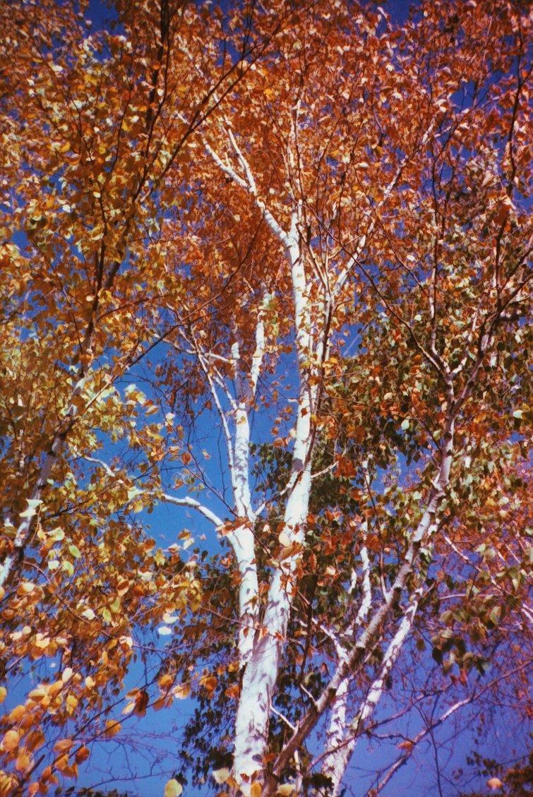 birch tree in my yard