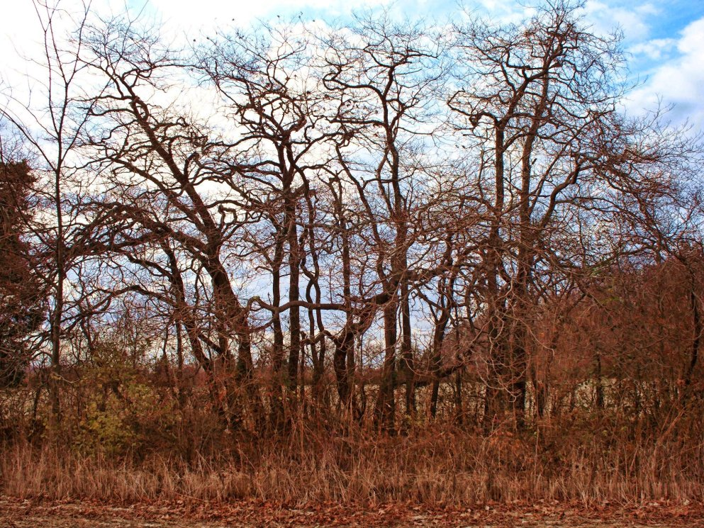 bare_sassafras_trees