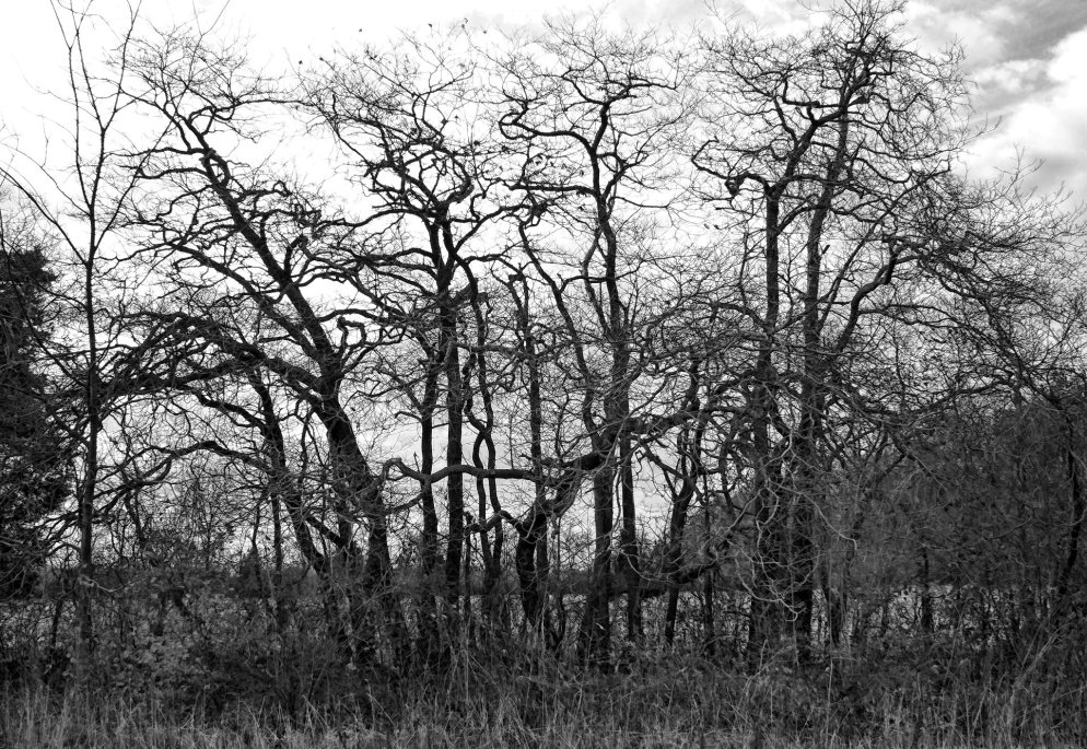 bare_sassafras_trees_black_and_white