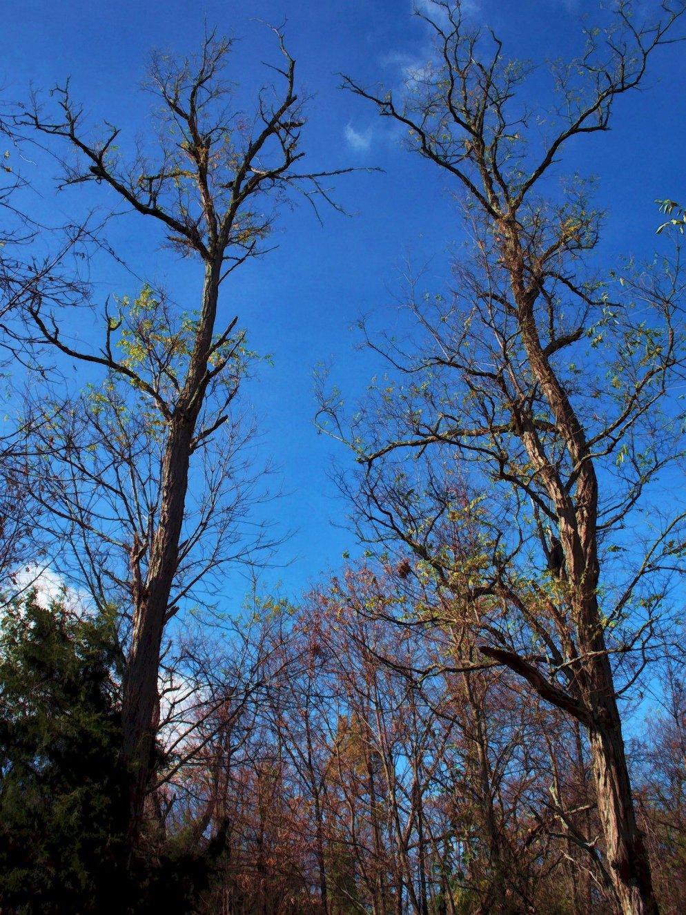 big trees in december