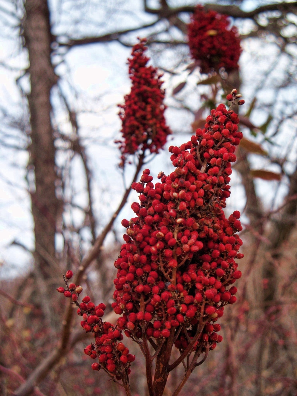 indiana smooth sumac