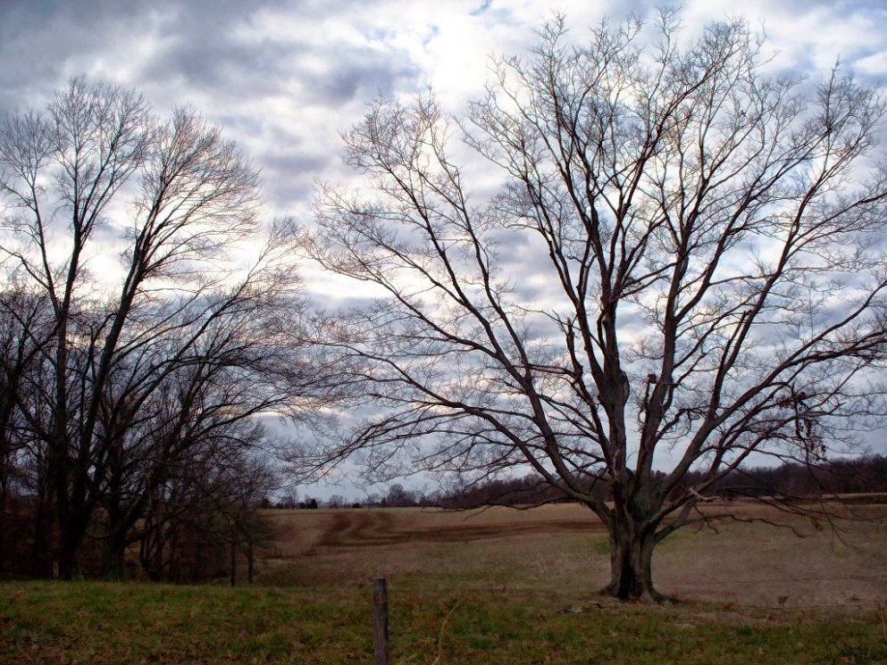 old_maple_tree_in_field