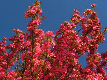 crabapple blooms