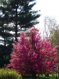 crabapple tree, pines in background