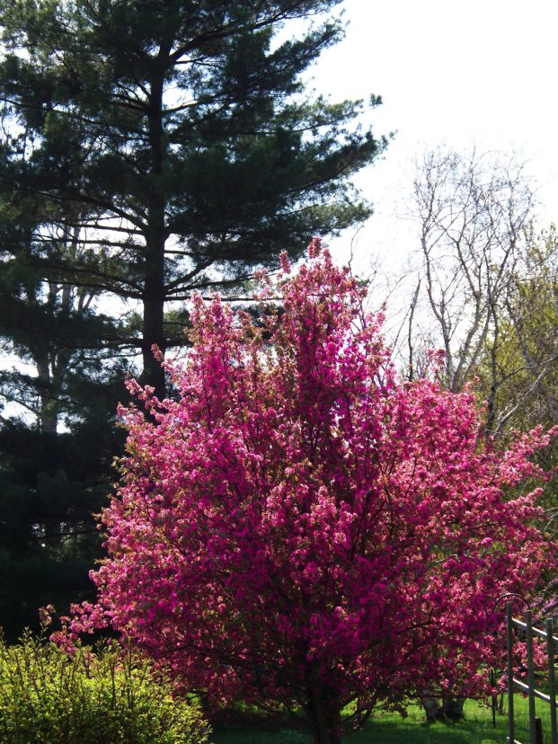 crabapple tree, pines in background
