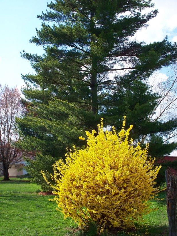 forsythia and pine tree