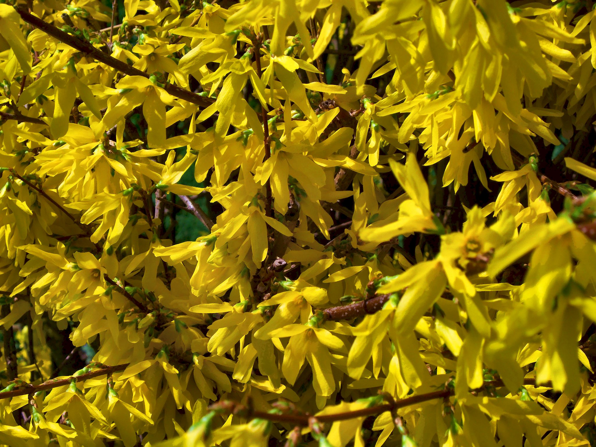 Our forsythia 2012 – Under the Sun and Under the Moon