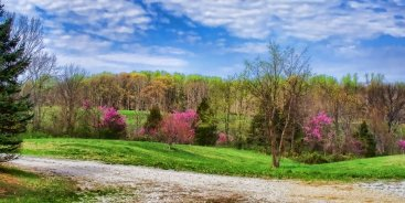 still another redbud panorama