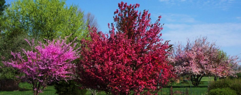 My redbud at left, my crabapple in center, neighbor's crab tree at right
