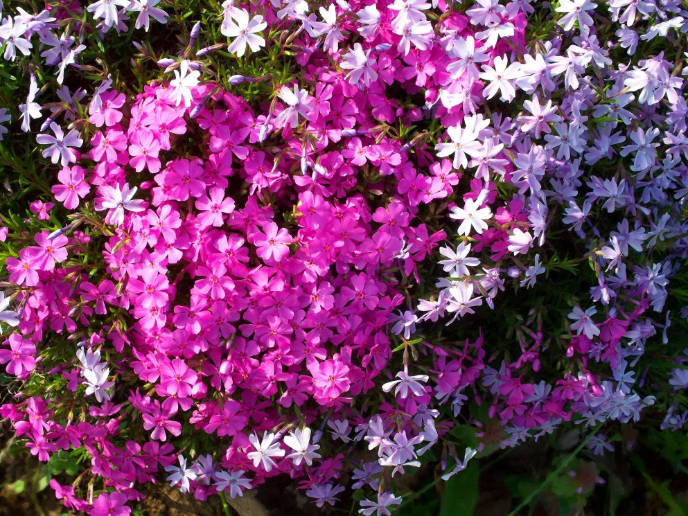 blue and pink creeping phlox