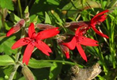 cardinal flower blossoms