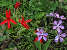 cardinal flower and wild phlox in indiana