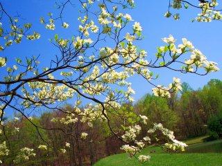 wild dogwood in bloom