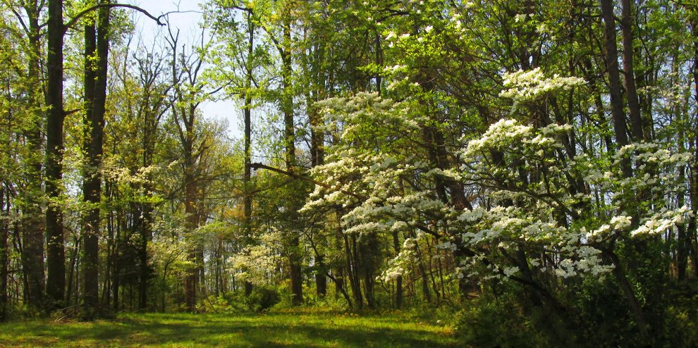 wild dogwood trees in woods