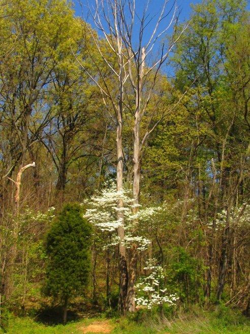 wild dogwood with dead tree