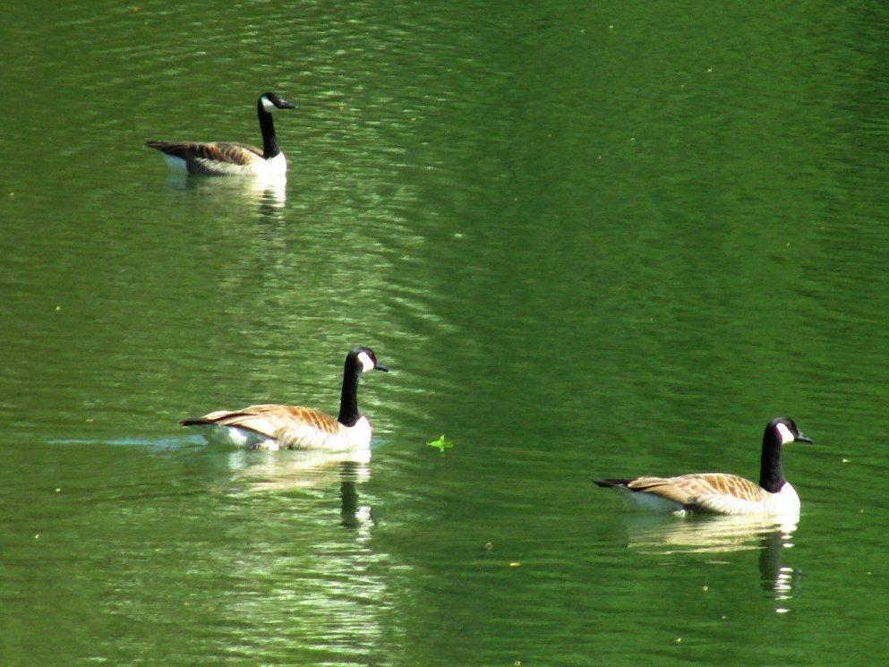 geese trio