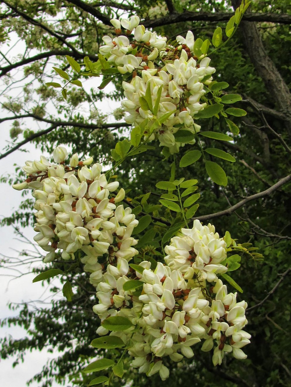 honey locust blooms