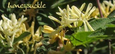 honeysuckle closeup