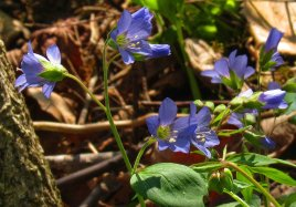 jacobs ladder blossoms