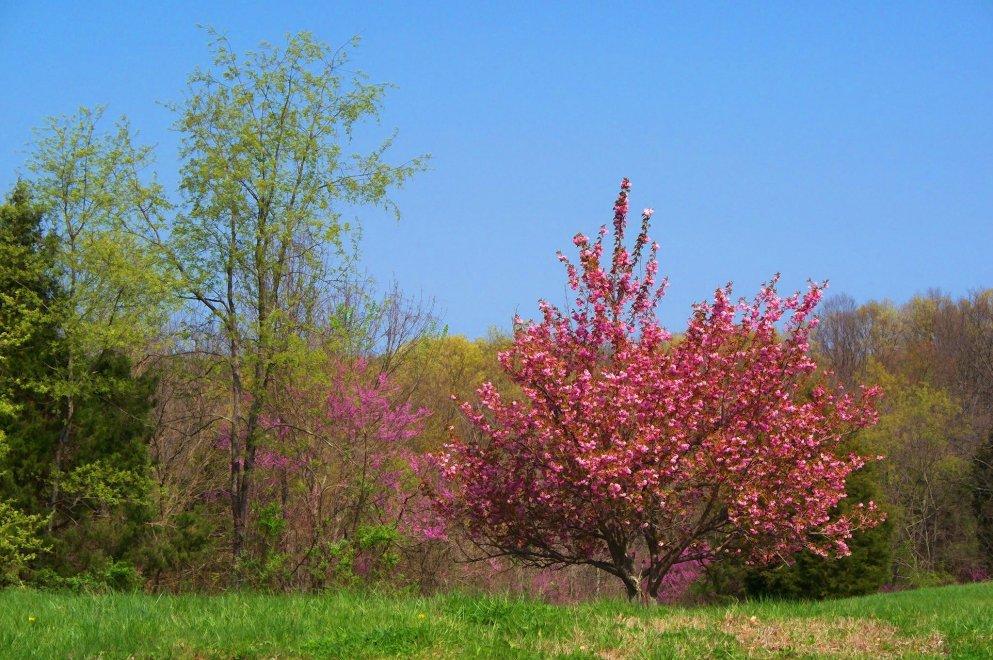 lone crabapple tree