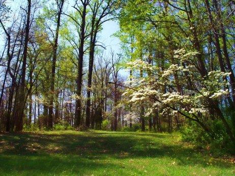 wild dogwood trees
