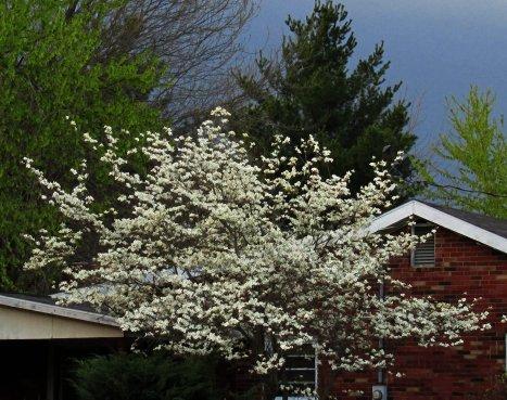 This beautiful tree belongs to our neighbor...I wish it belonged to me, LOL.