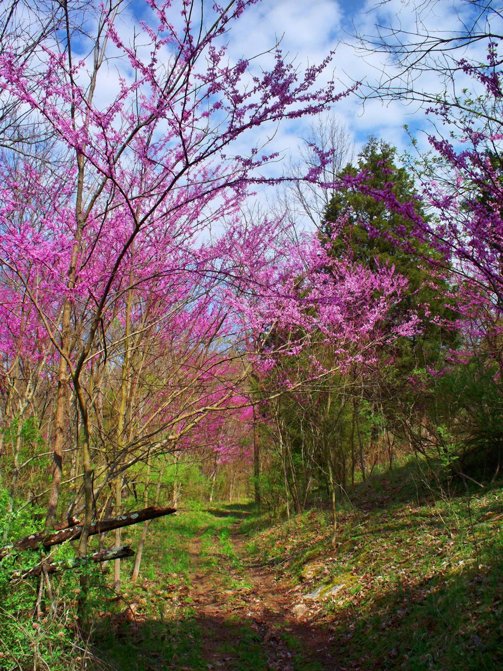 indiana redbud trees in valley by creek