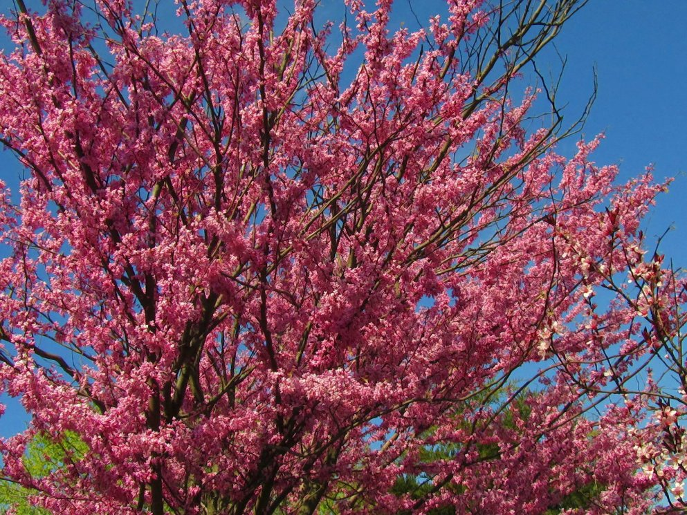 redbud tree in my garden