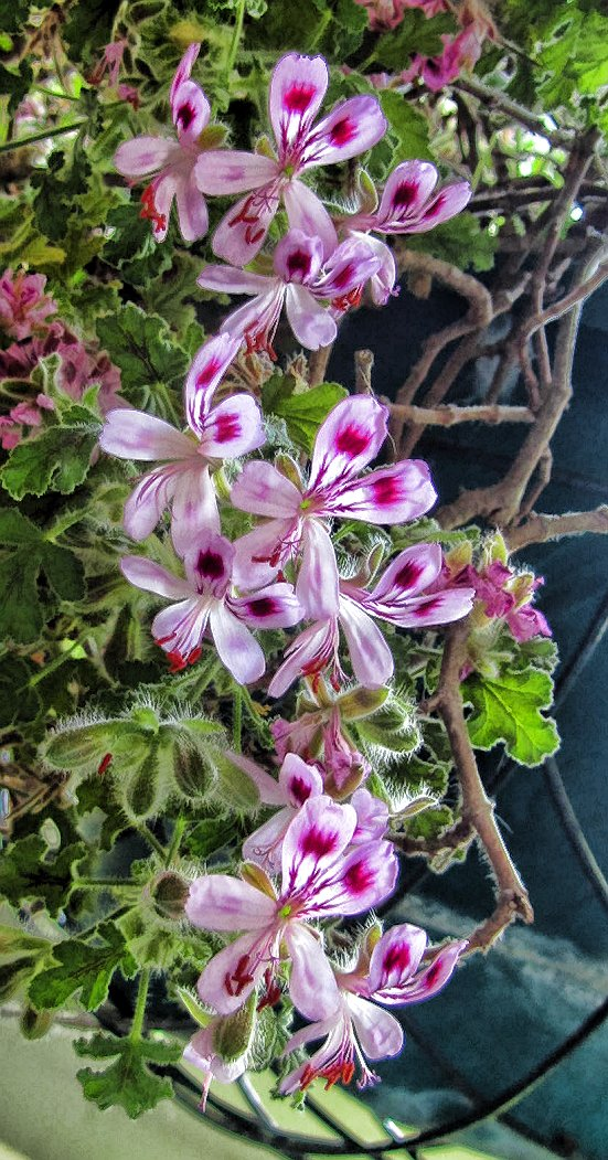 how to clean a scented geranium