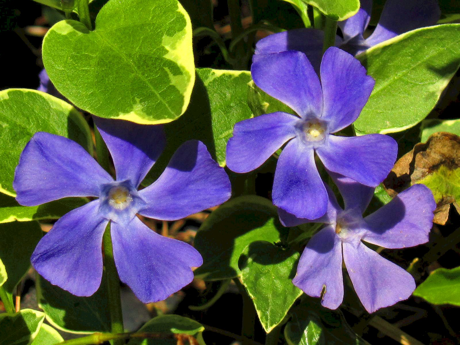 Vinca flowers under the sun and under the moon looking exactly like their wild cousin these beautiful flowers grow abundantly on the common vining garden plant vinca which i personally have a love hate mightylinksfo