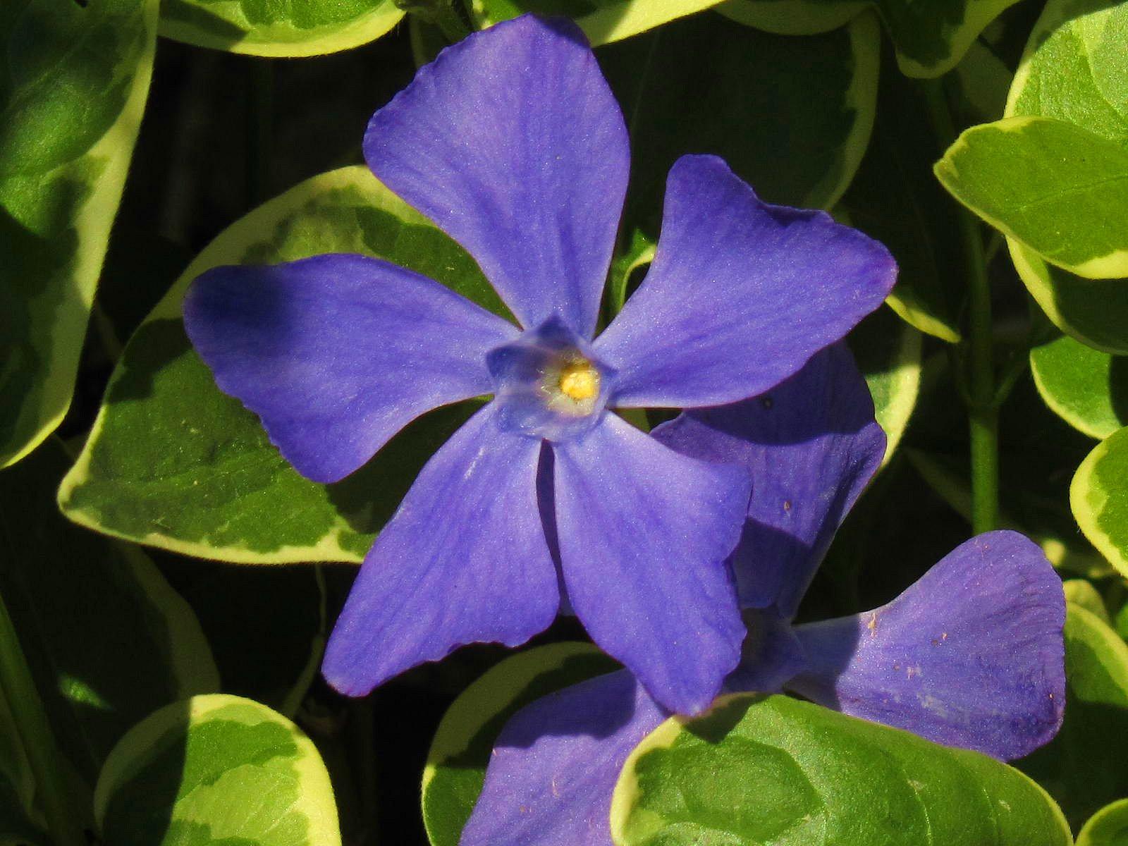 Vinca flowers