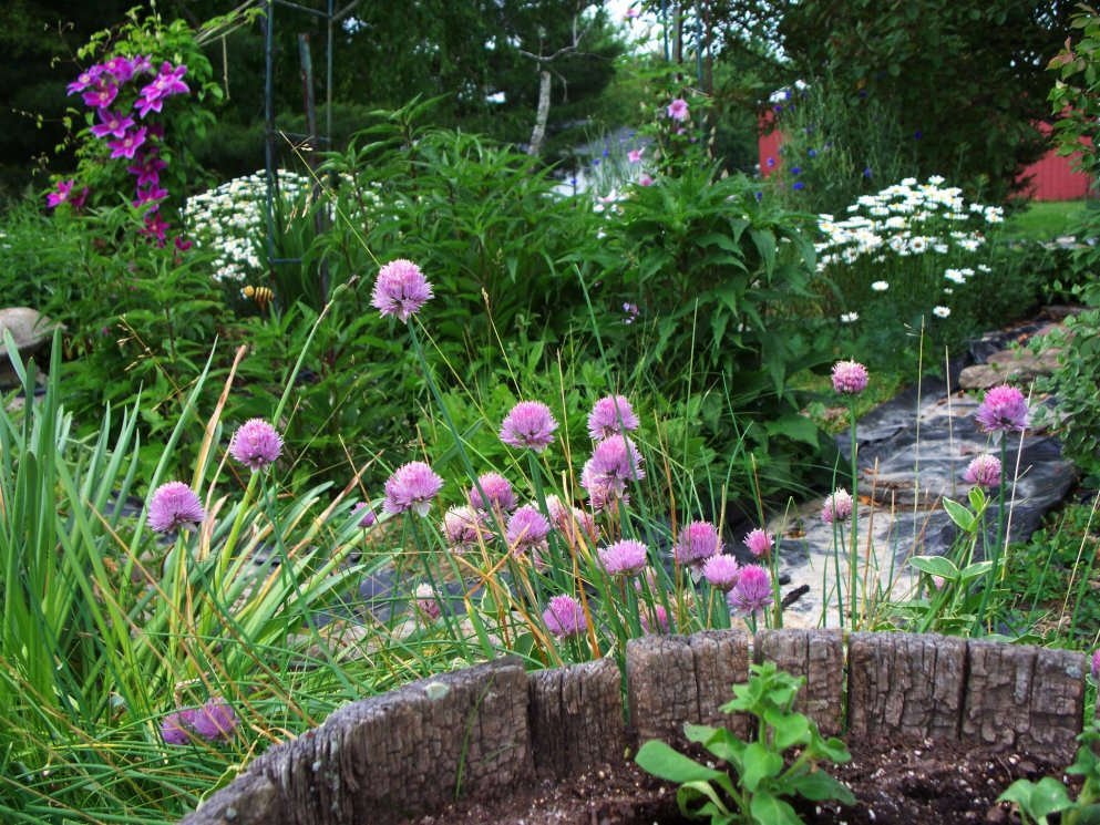 chives with clematis and shasta daisies in background