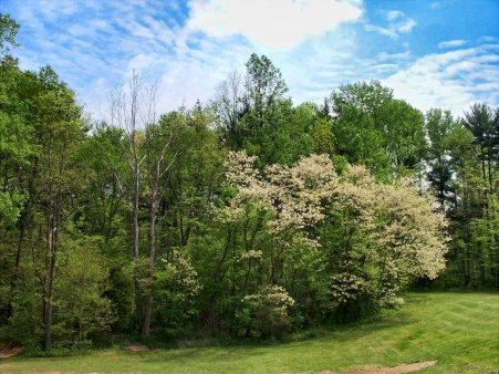honey locust trees