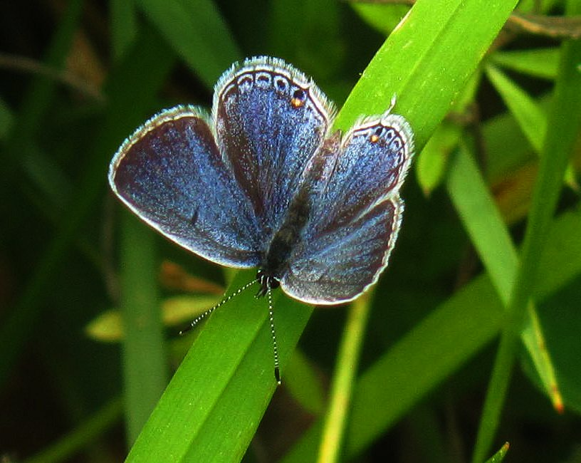 little blue butterfly of spring