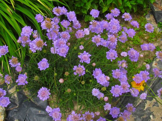 Amid these pincushion flower blossoms is the silhouette of a perfect heart shape!