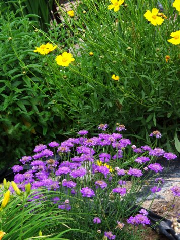 pincushion flower with coreopsis in background
