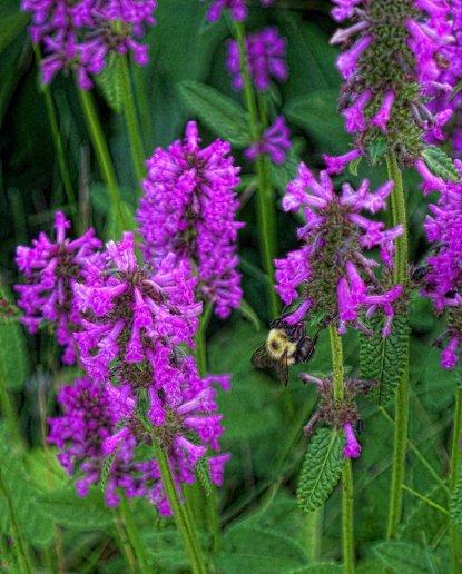 betony and bumblebee