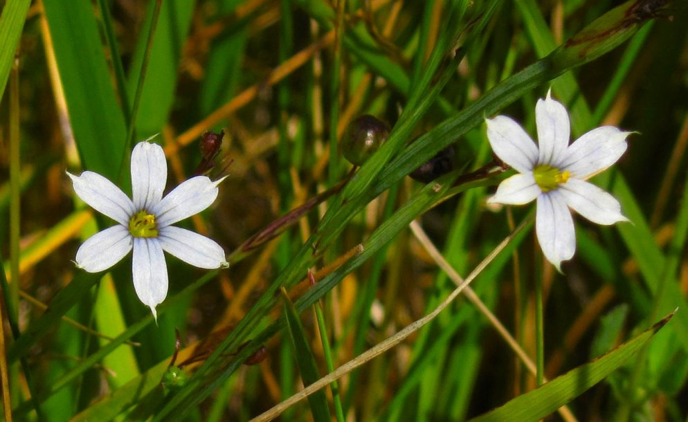 blue eyed grass very pale version