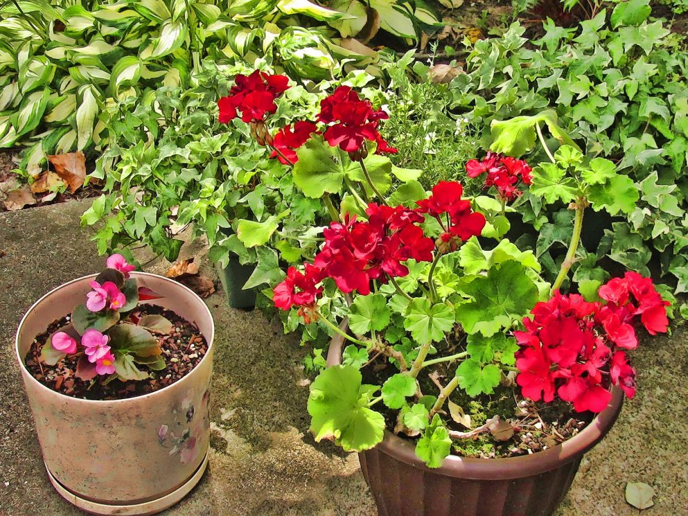 begonias, geranium, ivy, hostas, various patio plantings