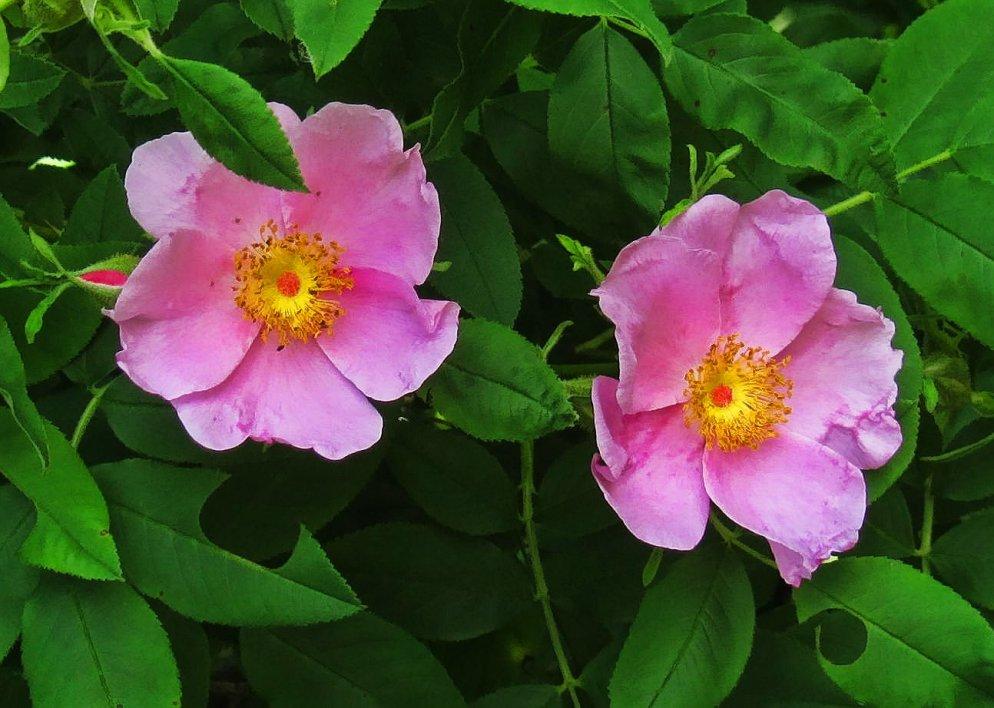 wild virginia rose